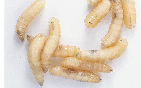 close-up-photo-of-maggots.jpg